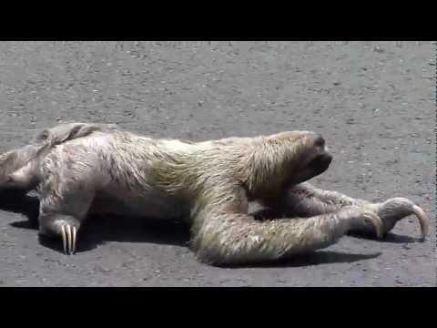 Petit Paresseux Traverant La Route au Costa Rica