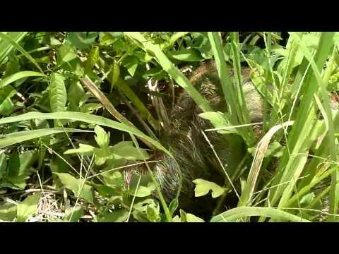 Paresseux dans l'herbe