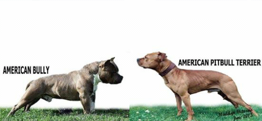 is an american bully a pitbull