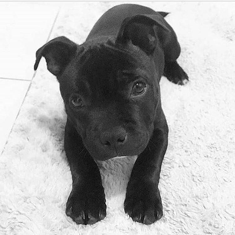 Black Pitbull Puppy Bully Breed