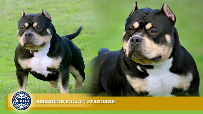 Become a Perfect American Bully Breeder