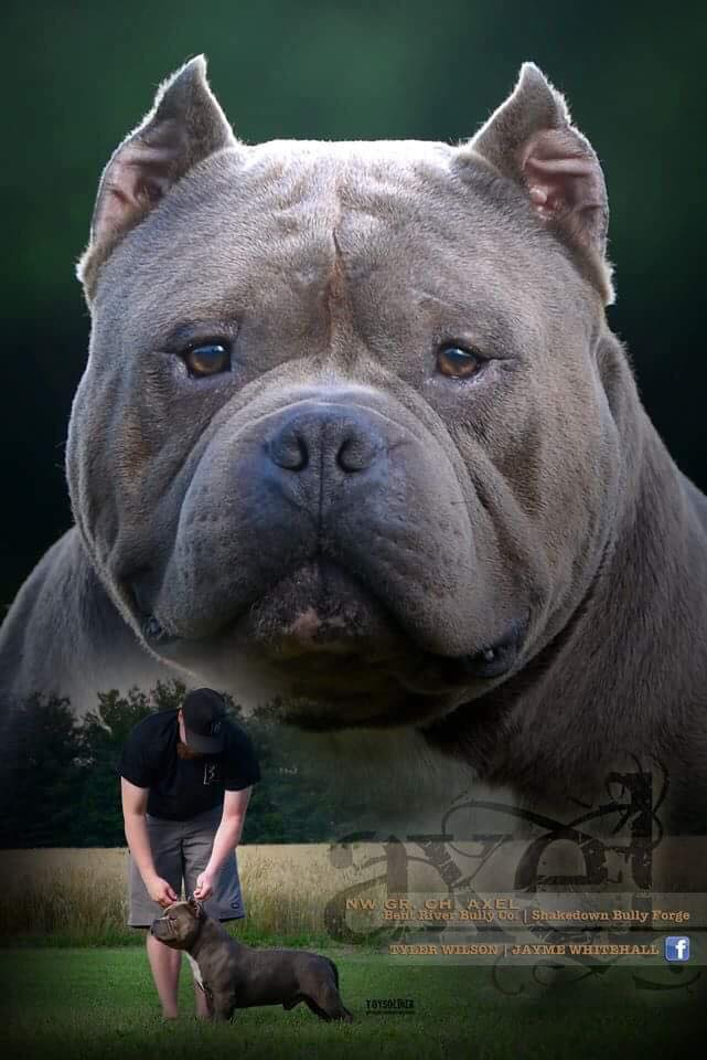 Ibks Axel Of Pck - Bully Breed Photos - This Is Bully-2825
