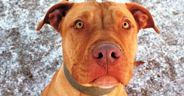 Michigan Senate votes down breed-specific bans often aimed at pit bulls