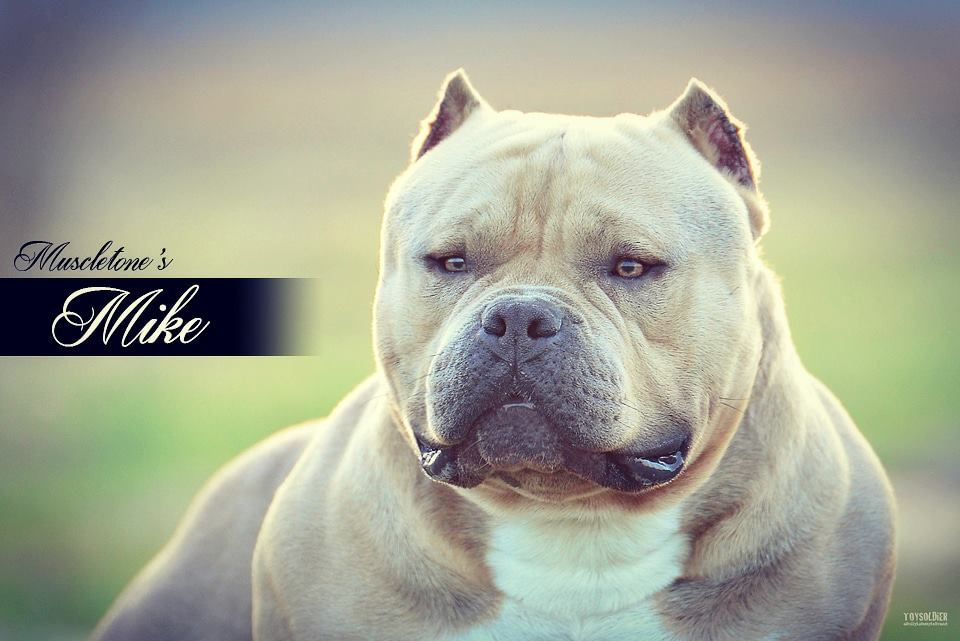 Muscletones Mike - Bully Breed Photos - This Is Bully-7462