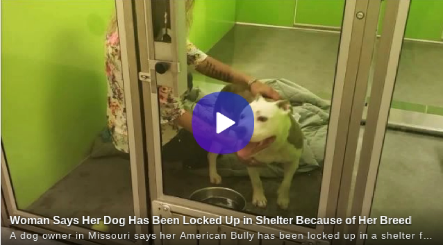 Woman Says Her American Bully Has Been Locked Up in Shelter Because of Her Breed