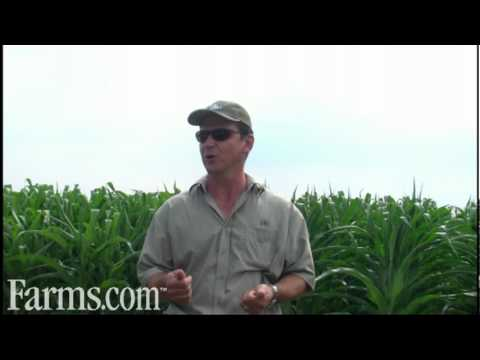 Discussion on the Ontario Corn Crop...How Does Your Corn Look?