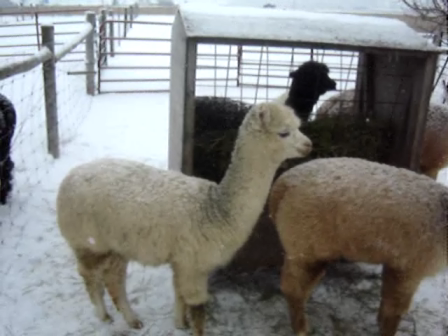 alpaca with hiccups