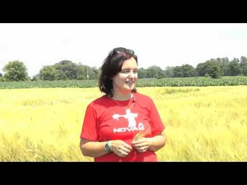 University of Guelph OMAFRA Partnership: Fusarium Headblight Resistant Wheat