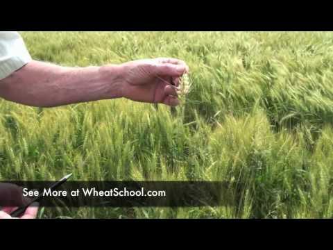 C&M Seeds' Wheat School:  Pat Lynch Identifying Fusarium in Wheat.