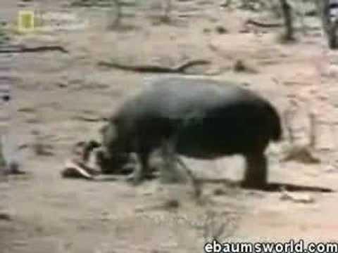 Hippo Saves Impala
