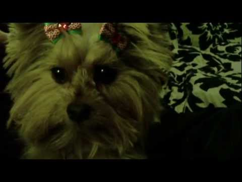 My Cute Yorkie openning Christmas gifts
