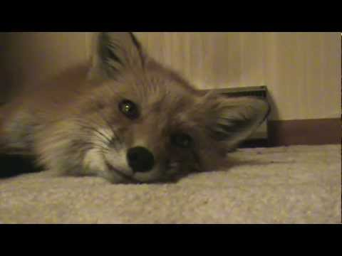 Rescued Fox Sings Pretty Song