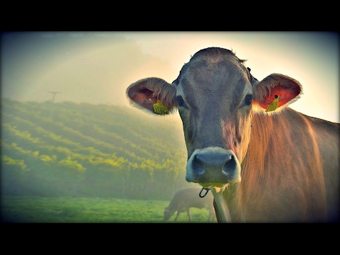 Your Milk's Mother | Why Dairy Is Never Humane