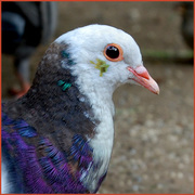 Bennett Park Pigeon