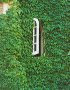 ivy window, new scan 2-15-02 copy