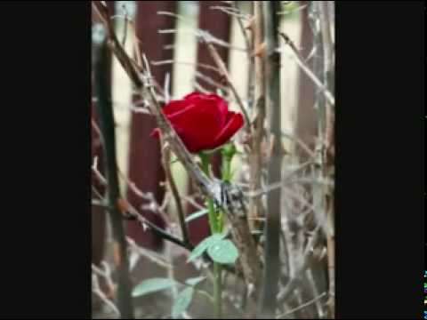 Thorn Upon A Rose