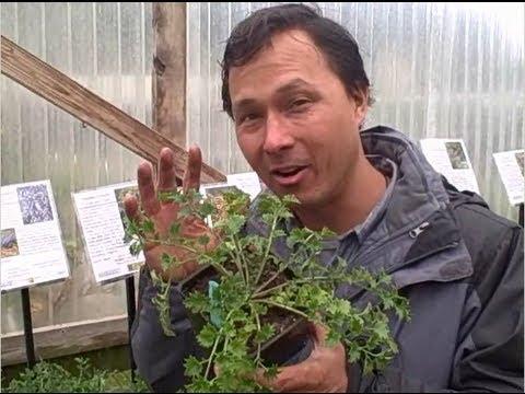 Cretan Rock Lettuce and other Edible Garden Plants at Half Moon Bay Nursery