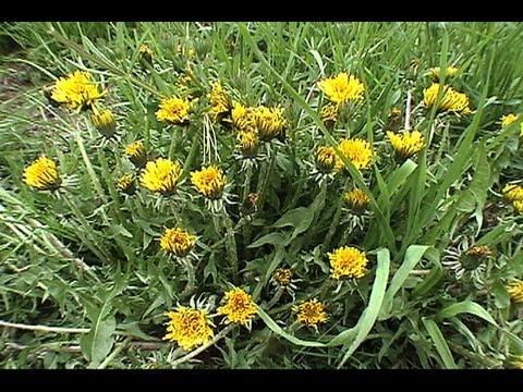 Dandelion Foraging and Eating GardenFork.TV