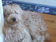 2 5 yr old Goldendoodle on the Boston Craigslist Pets