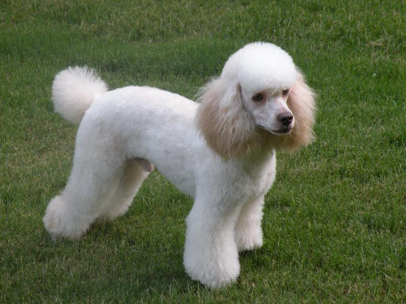 New Moyen Poodle Puppy How Big Do Yo Think Shell Get