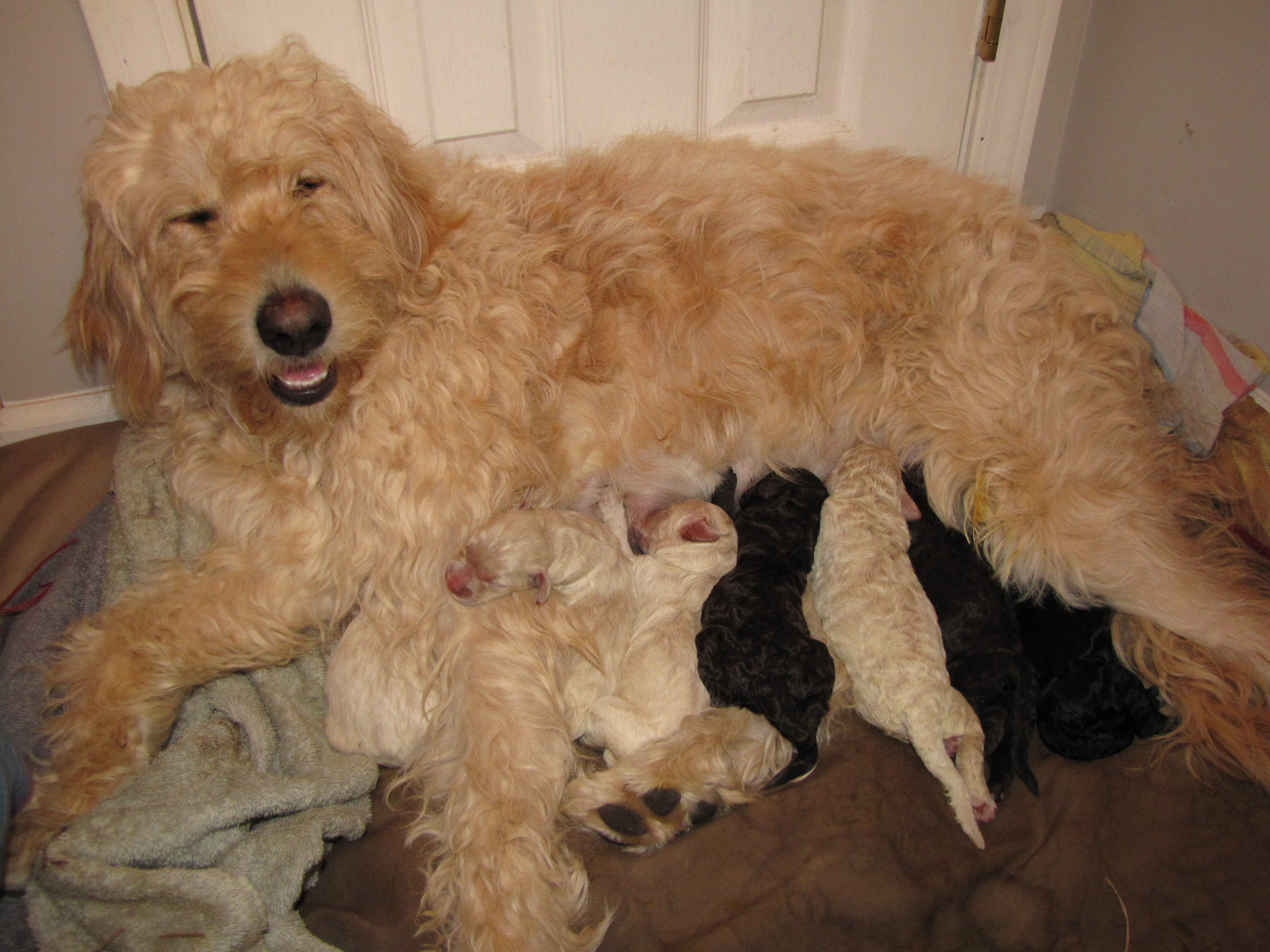 Are Chocolate goldendoodles a rare color? - Forum - Doodle