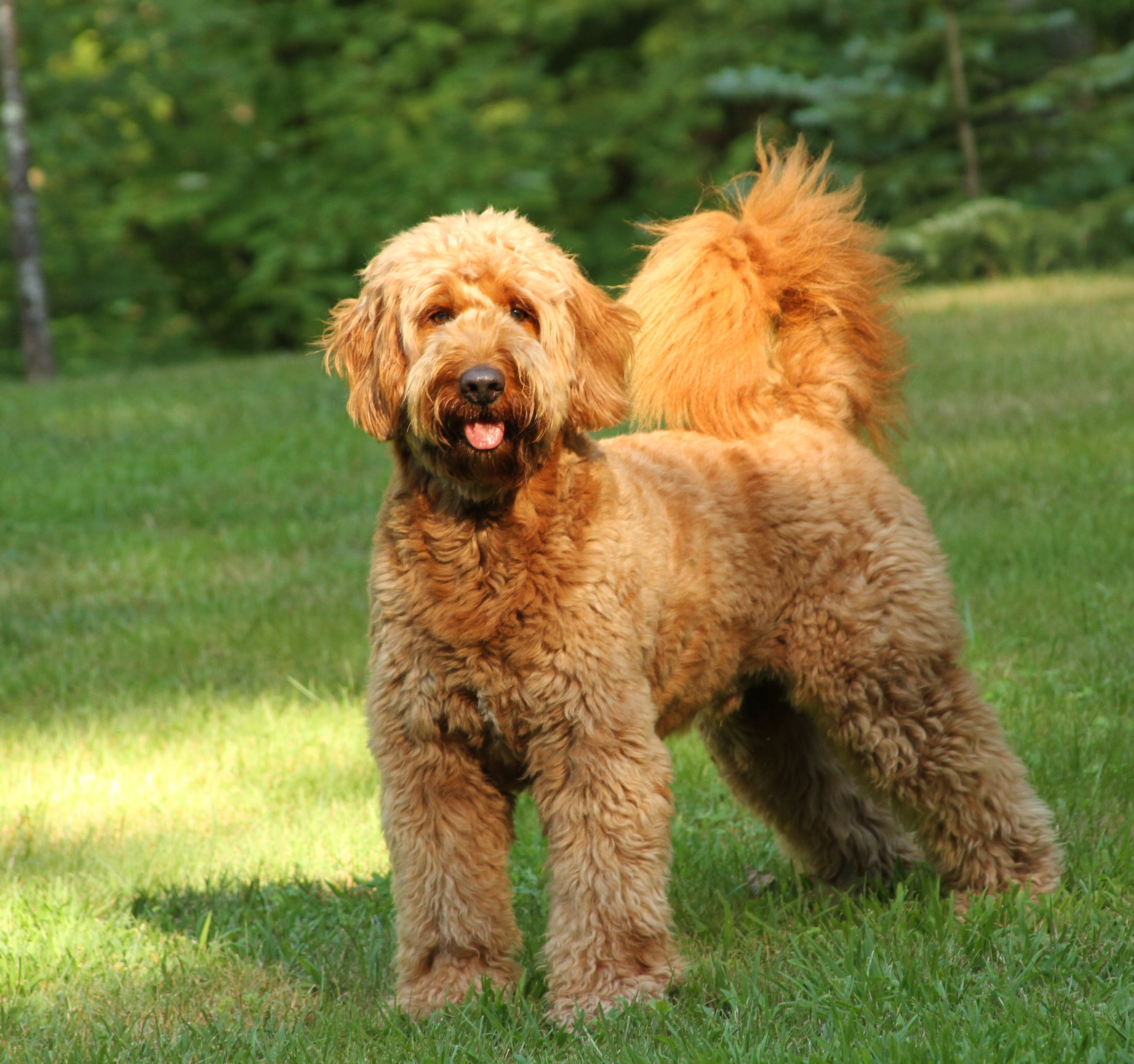 Mini Goldendoodles Full Grown Weight And Photos Forum