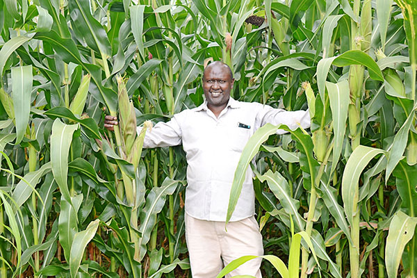 Here's how to grow maize for higher yields