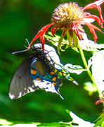 Butterfly on Beebalm