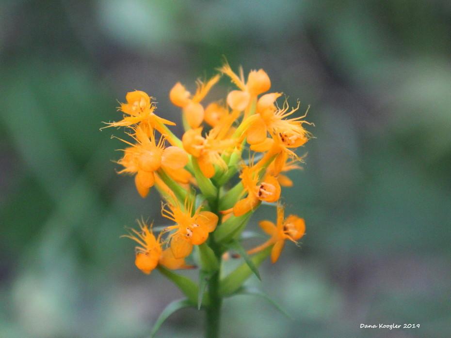 Orange Bog Orchid close up red spots