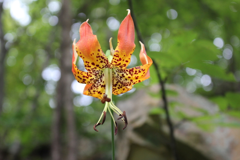 Another Carolina lily