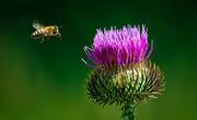 thistlebee