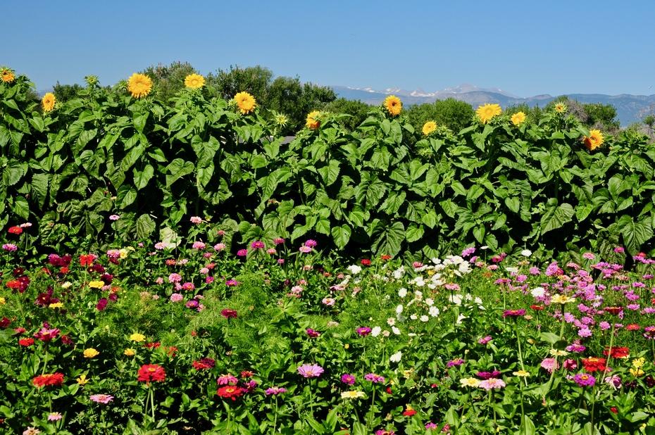Zinnias, sunflowers and Indian Peaks
