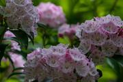 May Mountain Laurel