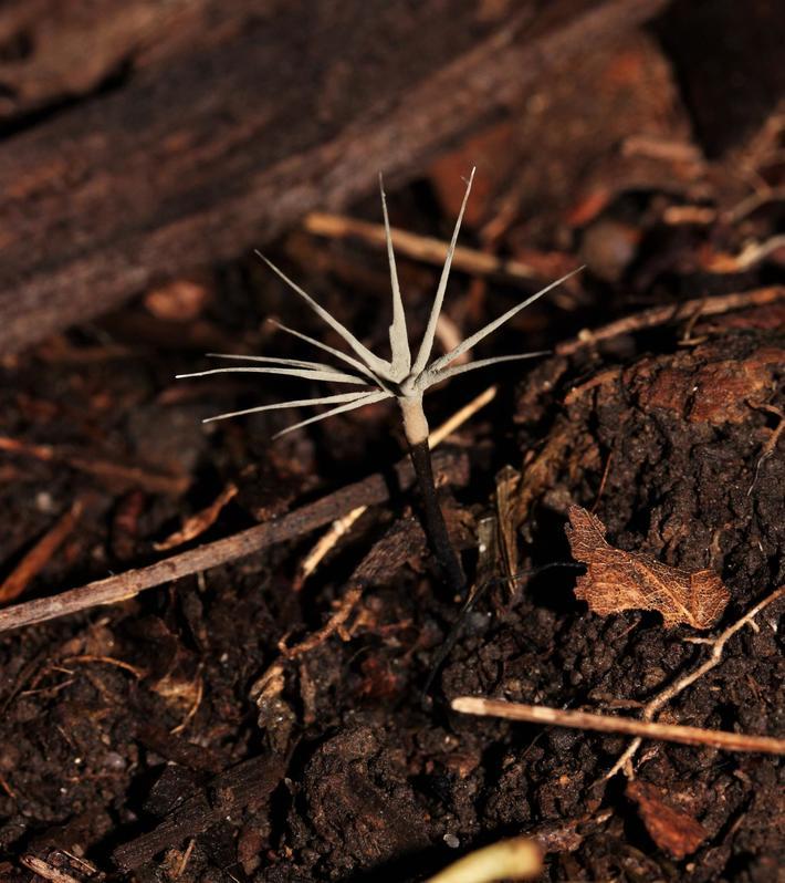 Fairy sparklers fungus