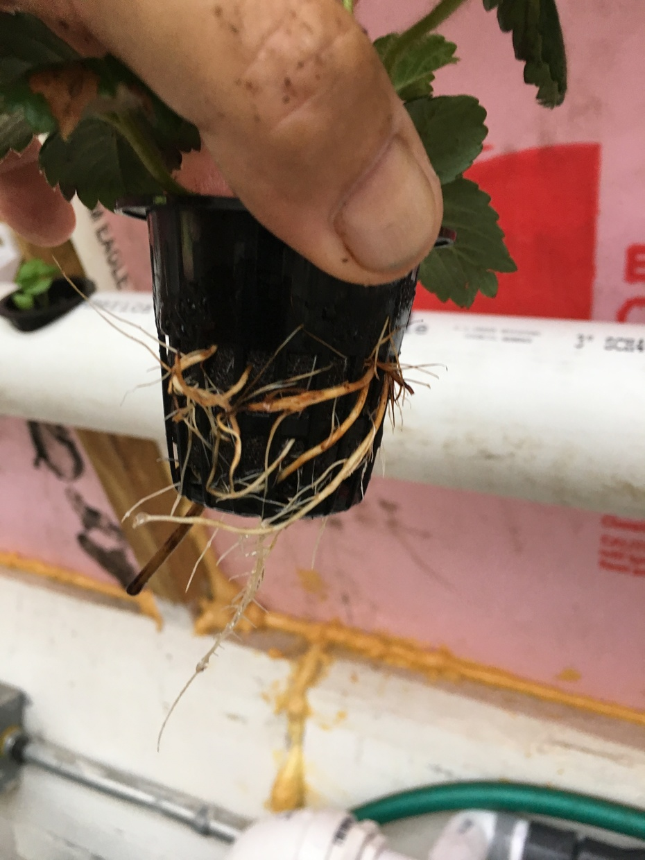 tremendous root growth