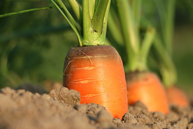 ABCs of carrot cultivation