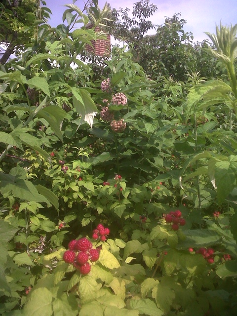 Raspberries and milkweed