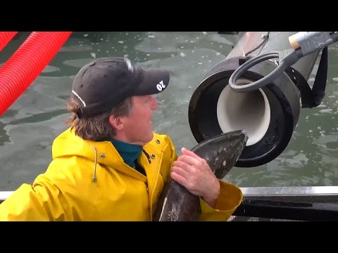 "Whooshh Innovations' ""Salmon Cannon"" Gives Fish A Boost Over Dams"