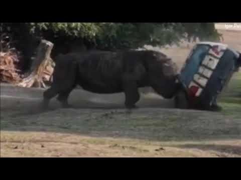 Angry rhino flips car