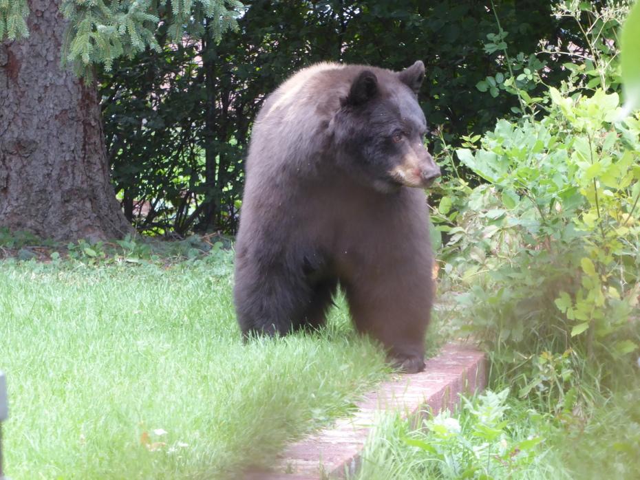Hungry mama bear