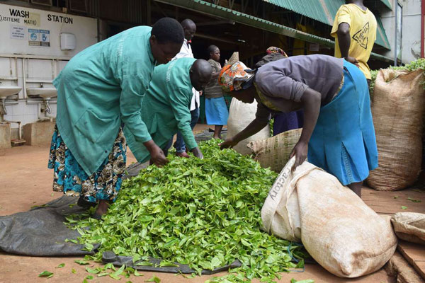 Oversupply sees drop in earnings for tea farmers