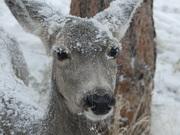 Cold doe