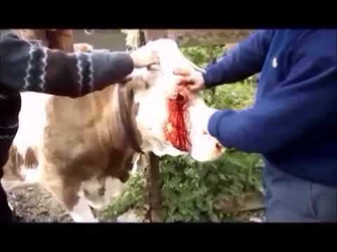 BISTURIU CU RISC SI GROAZA-FILM-CHIRURGIE VETERINARA.SCALPEL WIHT RISK AND HORROR.FULL MOVIE .
