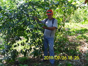 Planta de Guayusa IMG_0383