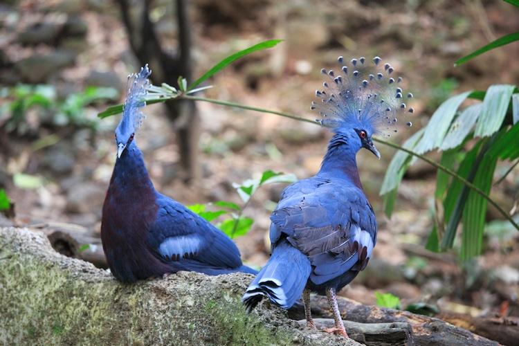 მტრედი, სამეფო მტრედი, გვირგვინოსანი მტრედი, ოფოფი მტრედი, victoria crowned pigeon, guara victoria, qwelly, ბლოგი