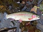 "14"" Rainbow Trout (10-21-19)"