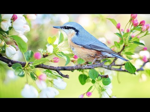 """Peaceful music, Relaxing music, Instrumental music """"Birds of Spring"""" by Tim Janis"""