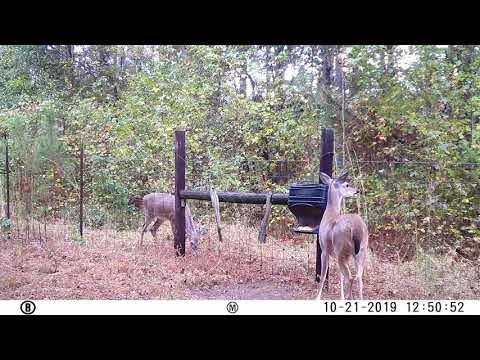 Deer at corn feeder