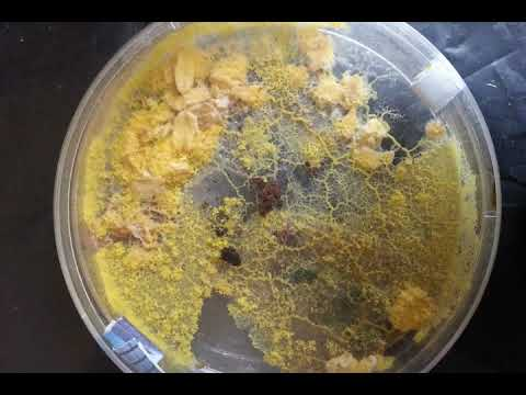 Slime Mold Fruiting (Long version)