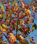 Spindle bush fruits, top of park, Nov 7th '19